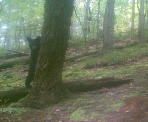 game-cam bear cub