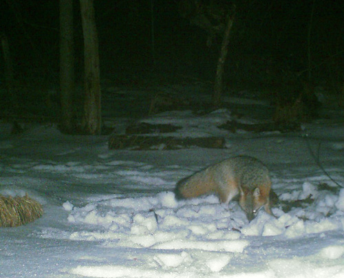 game-cam gray fox