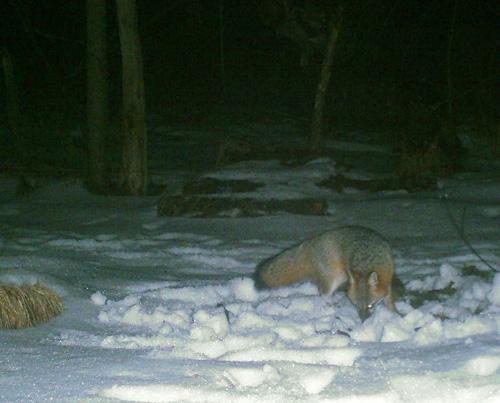 game-cam gray fox